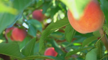 brzoskwinia : Juicy peach hanging on a tree branch