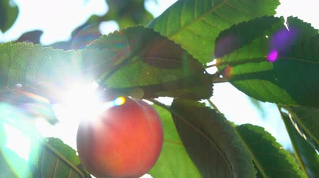 brzoskwinia : Peach on a tree branch in the sun light