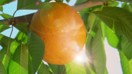 pomar : ray of sunshine through the branches of ripe oranges