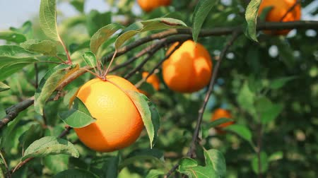 farma : Ripe juicy orange on orange tree branch