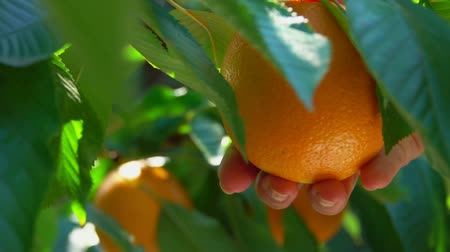 Hand breaks from branch ripe orange in the sun