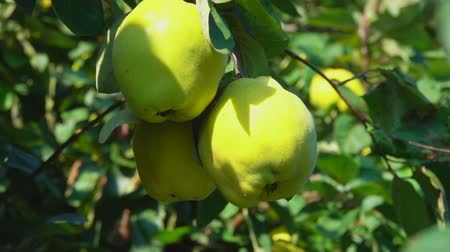 pereira : Ripe juicy pears on a tree in the garden during the summer sunny day