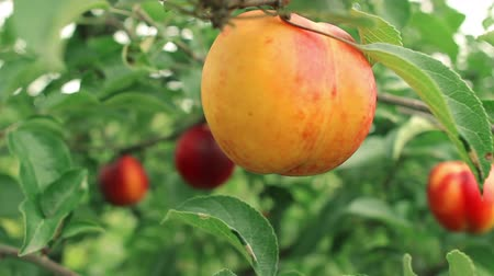 нектарин : Close-up branch of ripe peach in the garden