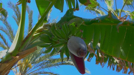 növénytan : Close-up of a flower and banana fruit on a tree. From the bottom point, the circular motion of the camera Stock mozgókép