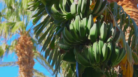 tilt down : Close-up of banana tree leaf and fruit against the background of a bright blue sky.