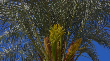 palmtree : Panorama of a blooming date palm against a bright blue sky on a sunny day