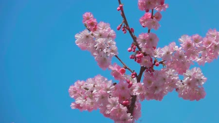 flor de cerejeira : Movement of the camera along the branch of cherry blossoms.