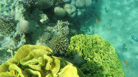 fauna of the tropics : Tropical coral fish sergeant major swim around sponge on a coral reef