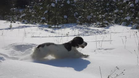 game hunting : Black and white spaniel running through the snow in the park
