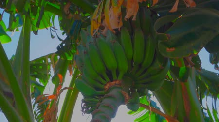 tilt down : Sunlight shines through the flowering and banana fruit on the tree. From the bottom point, the circular motion of the camera Stock Footage