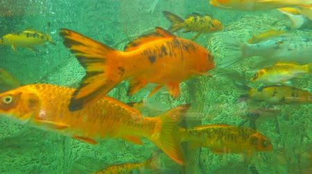 goldfish : Beautiful bright colorful Koi close up Stock Footage