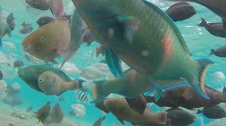 fauna of the tropics : school of tropical fish Rusty Parrotfish swim near the coral reef Stock Footage