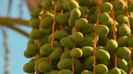 palmtree : Green fruits of the date palm. Close-up panorama Stock Footage