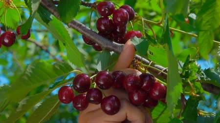 диета : Close-up of a hand plucking juicy ripe cherries from a tree branch Стоковые видеозаписи