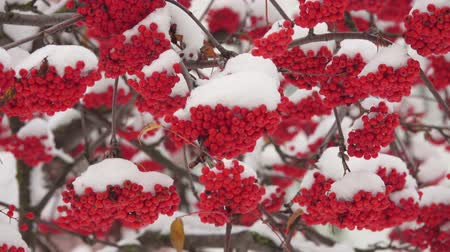 sorbus : Snow-covered red bunches of rowan in the snow close-up