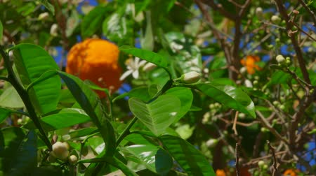 tangerines : Orange flower and ripe orange on a branch of an orange tree close-up
