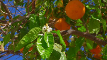 цитрусовые : Branch with flowers and orange ovaries on the background of ripe oranges on a tree branch close-up Стоковые видеозаписи