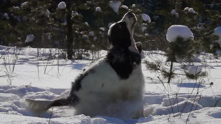 deha : Black and white spaniel jumping on the snow in the park in slow motion