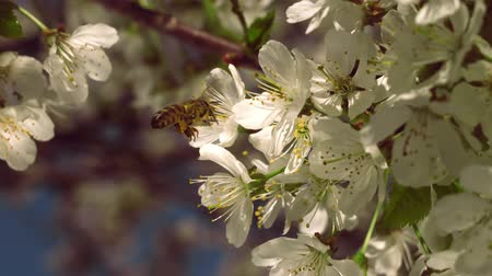 тычинка : Close-up of a slow motion of bee flying collecting pollen from a cherry tree flowers on a sunny day and warm weather with a blue sky.