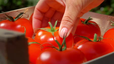 molho : Closeup of female hand puts ripe juicy red tomato from wooden box on summer sunny day Stock Footage