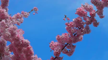 padrão japonês : Close-up of a slow motion of bee flying collecting pollen from a cherry tree flowers on a sunny day and warm weather with a blue sky.