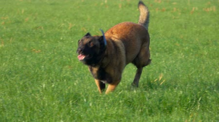 çoban köpeği : beautiful Belgian shepherd runs on a green lawn Stok Video