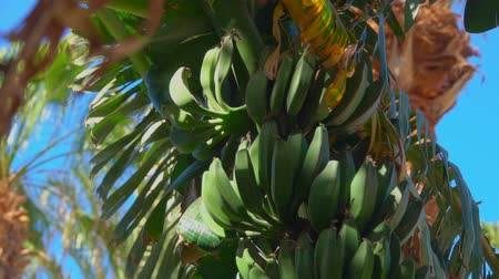 tilt : Camera movement from top to bottom of banana tree fruit and leaf against the background of a bright blue sky