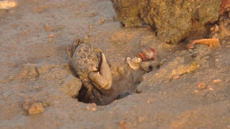 hermit crab : Small crab crawls out of a sand mink in a low tide