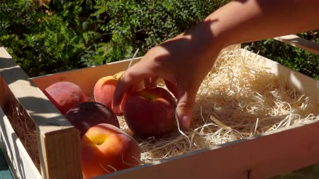 нектарин : Female hand puts ripe juicy peachs in a wooden box