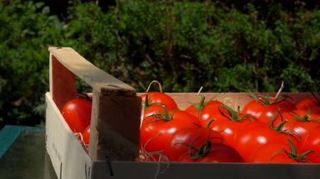 kečup : Harvesting tomatoes in a wooden box in the garden. Female hand puts ripe juicy red tomatoes in wooden box. Summer sunny day
