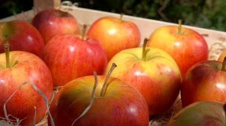 agronomist : Ripe juicy red apples lie in a wooden box in the garden. Panoramic camera movement. Summer sunny day in the fruit garden Stock Footage