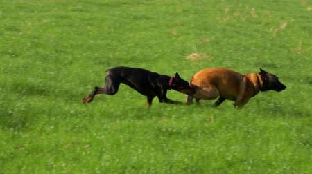 çoban köpeği : Beautiful purebred Doberman and Belgian Shepherd play on the green field. Stok Video