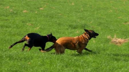 belga : Beautiful purebred Doberman and Belgian Shepherd play on the green field. Vídeos