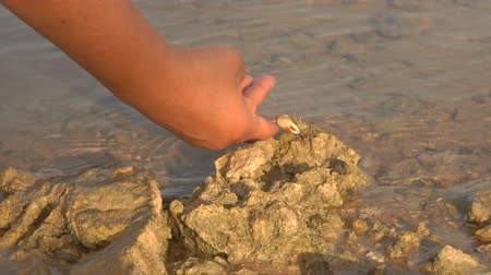 hermit crab : Hand takes off a small hermit crab on a sea stone in the water