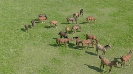 foothills : Herd of young horses is grazed on a green meadow. View from the drone