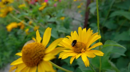 paw : Close-up of a Bumblebee collecting pollen from the bright yellow Heliopsis flowers Wideo