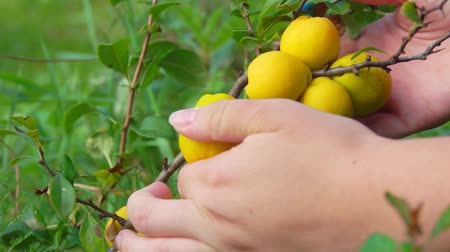 pigwa : Hands picking ripe yellow quince fruits from a bush on a bright sunny day