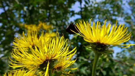 paw : Wind flutters the petals of a bright yellow elecampane. Butterflies fly over the meadow
