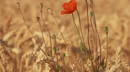 Poppy flower with seed boxes growing among ripe golden wheat