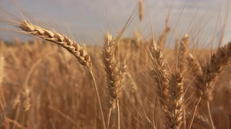 cereal product : Close-up of beautiful ripe yellow wheat swaying in the wind in a wide field Stock Footage