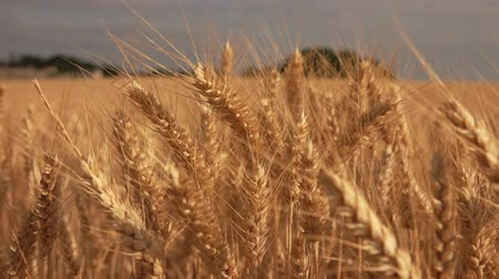 Close-up of ripe golden wheat ears on the background of a wide field and blue sky Стоковые видеозаписи
