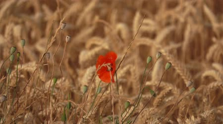 kábító : Field of ripe wheat with poppy flowers sways in the wind