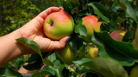 Close-up of a Hand picks a ripe big apple from a tree branch in the garden 影像素材
