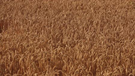 Large wide field with ripe yellow wheat swaying in the wind