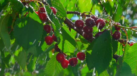 Drops of summer rain dripping on a branch with ripe juicy cherries on a clear sunny day Wideo