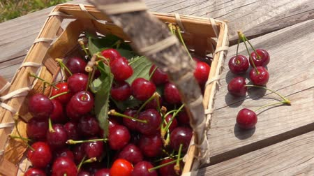 Ripe cherries falls on a wooden table near birch basket with berries in slow motion outdoors