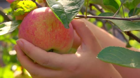 Close-up of a Hand picks red ripe apple from a tree branch in the garden