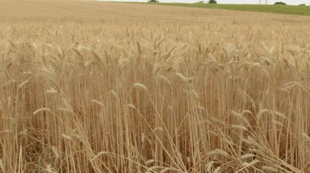 cereal product : Flying along a wide field of ripe golden wheat