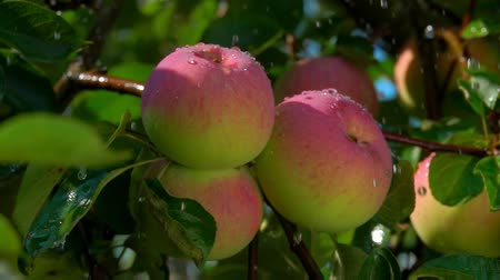 engradado : Drops of rain falling down on ripe juicy apple on a tree branch on a clear summer day