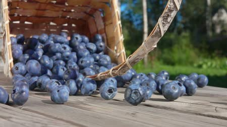wild berries : Basket full of large blueberries fall on a wooden table and berries roll towards the camera outdoors on a sunny day